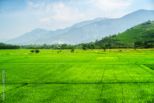 Scenic bright green rice fields in summer