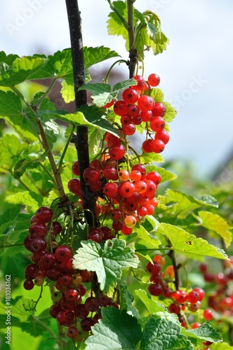 Plagát Redcurrant plant with berries