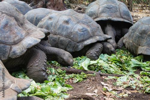 Fotobehang Schildpad Гигантская сейшельская черепаха