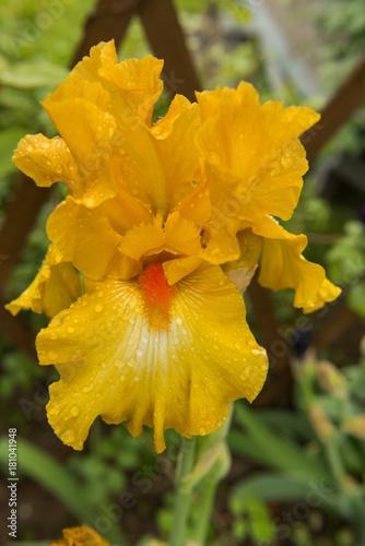 Plexiglas Iris flower yellow iris varietal