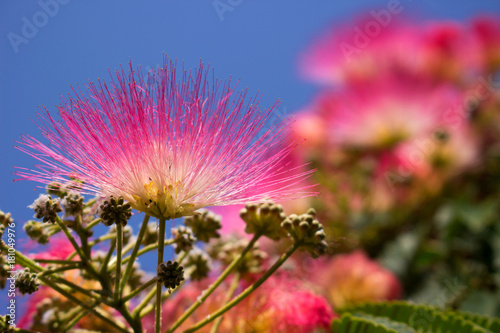 Papiers peints Azalea Albizia julibrissin. Beautiful pink flowers. Tropical Mediterranean tree.