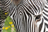 A close up of a zebra's head, whith gaps in it's hair as a result of small scars clearly seen