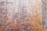 Herbstliche Rotbuchen mit Reif im Nebelwald - 181062356