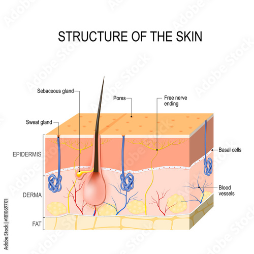 Skin layers with sebaceous gland and sweat glands | Buy Photos | AP ...