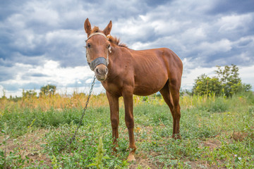 a young stallion eats grass. Young horse tethered on the street