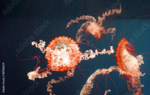 Fototapeta red jellyfish in the blue sea water