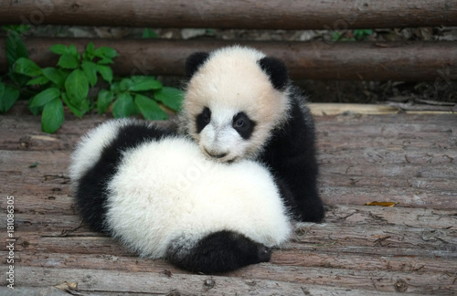 Plexiglas Panda Baby panda playing and sleeping outside
