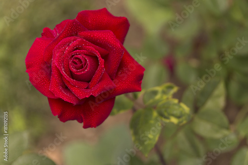 close up red rose on nature