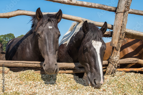 Two horses behind the wooden fence. Sunny day. Front view, close up. Rural scene.