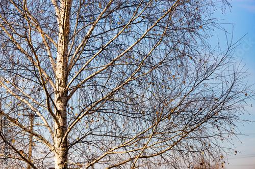 Papiers peints Bosquet de bouleaux bare birch branches at dawn in the park