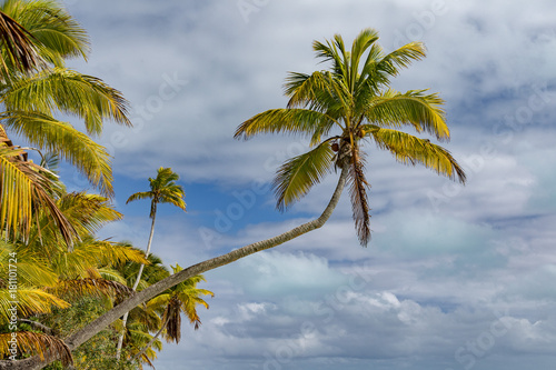 Papiers peints Tropical plage Coconut tree on polynesian tropical paradise beach