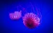 Jellyfish swimming in blu water