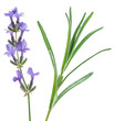 Lavandula or lavender flowers and leave isolated on white background.