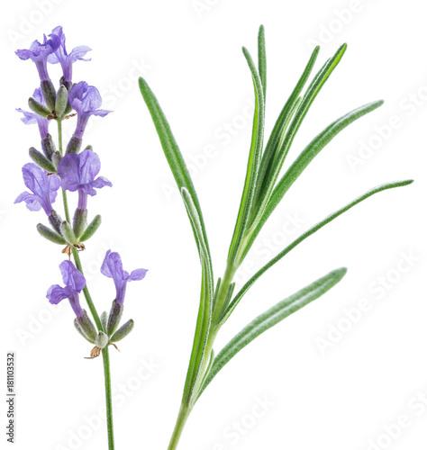 Aluminium Lavendel Lavandula or lavender flowers and leave isolated on white background.