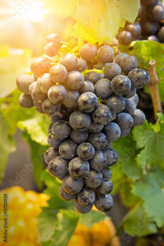 Sunlight Bunch of fresh red grapes with green leaf - 181104168