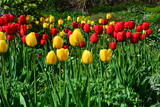 tulips red and yellow flowerbed