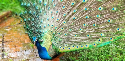 Deurstickers Kuala Lumpur Blue Peacock