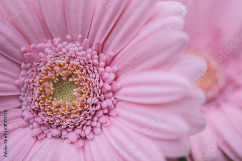 Fotobehang Gerbera Pink flower. Close-up Gerbera flower. Floral background.