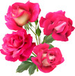 four pink isolated roses in bunch