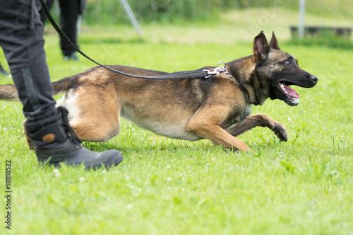 Belgischer Schäferhund an der Leine auf dem Hundeplatz