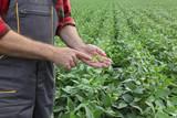 Farmer examining soy bean crop in field
