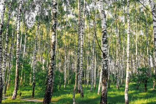 Plexiglas Berkenbos Beautiful landscape. Russian forest. White birch trunks.