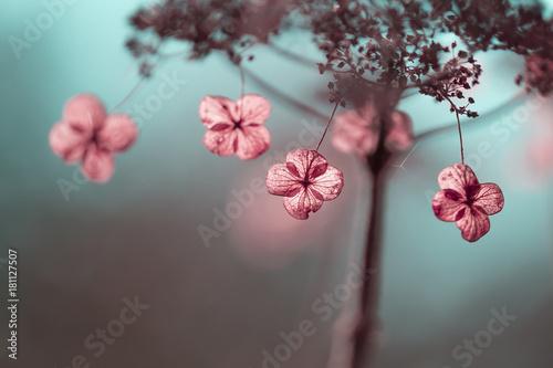 Plexiglas Hydrangea Verblühte Hortensien im Gegenlicht