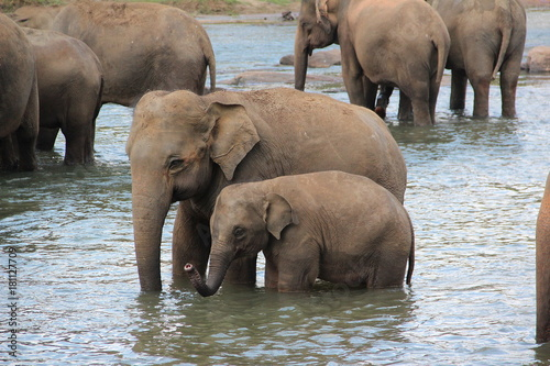Poster cattery of elephants