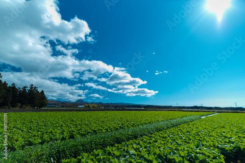 キャベツ 畑