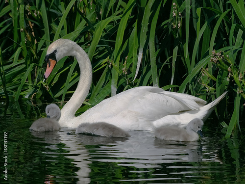 Fotobehang Zwaan Adult Mute Swan (Cygnus olor) with juveniles, cygnets.