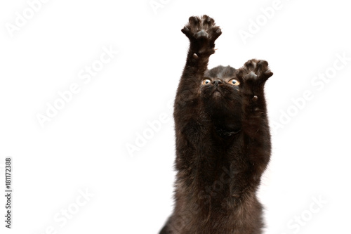Plexiglas Panter Black Cat sitting and looking at the camera, isolated on white