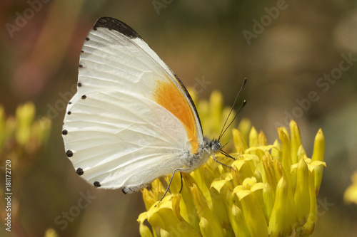 Fotobehang Vlinder Brown and White Butterfly