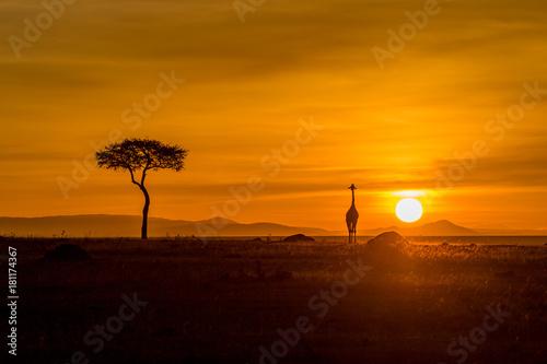 Fototapeta Giraffe in Masai Mara