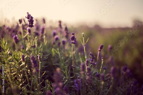 Aluminium Lavendel lawenda