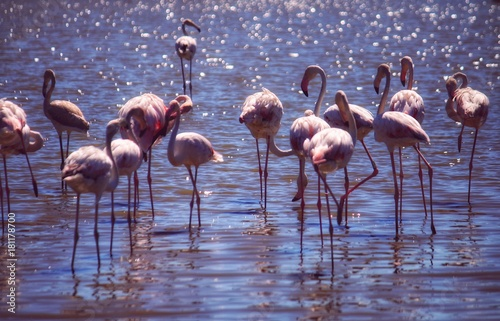 Group of flamingos Poster