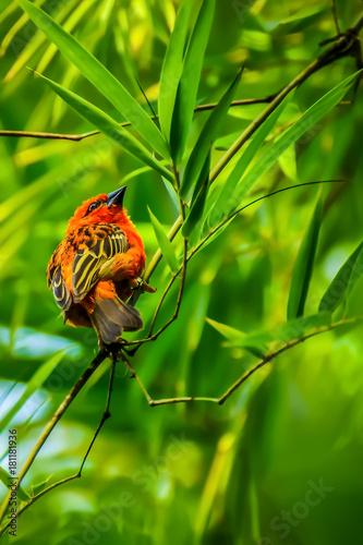 Leinwanddruck Bild Roter tropischer Vogel im Regenwald