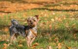 Yorkshire terrier i jesień - 181184318