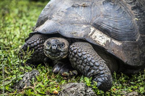 Fotobehang Schildpad Giant Tortise Galapagos Islands