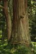 山五十川の玉杉(国指定天然記念物) Yamairagawa Tamasugi(National designation natural monument) / Tsuruoka, Yamagata, Japan