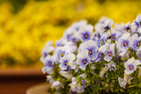 Closeup of beautiful blue flowers, pansies