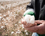 Farmer's Weather Hands Hold Cotton Boll Checking Harvest - 181211396