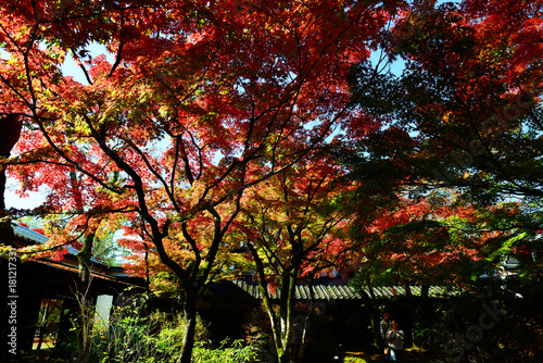 Foto op Canvas Rood paars 由布院の紅葉