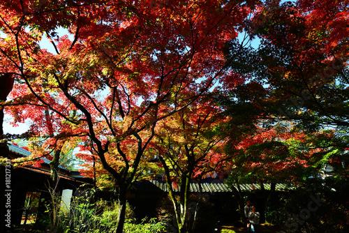 Foto op Plexiglas Rood paars 由布院の紅葉