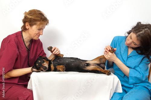 Fototapeta Veterinary doctor and a veterinary nurse examining dachshund dog paws