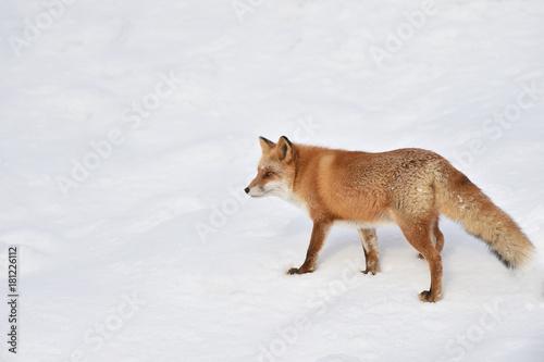 雪の中のキタキツネ Poster