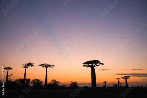 Foto op Aluminium Baobab baobab Madagascar