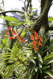 Fototapety Plumeria-Hybride Mary Moragne