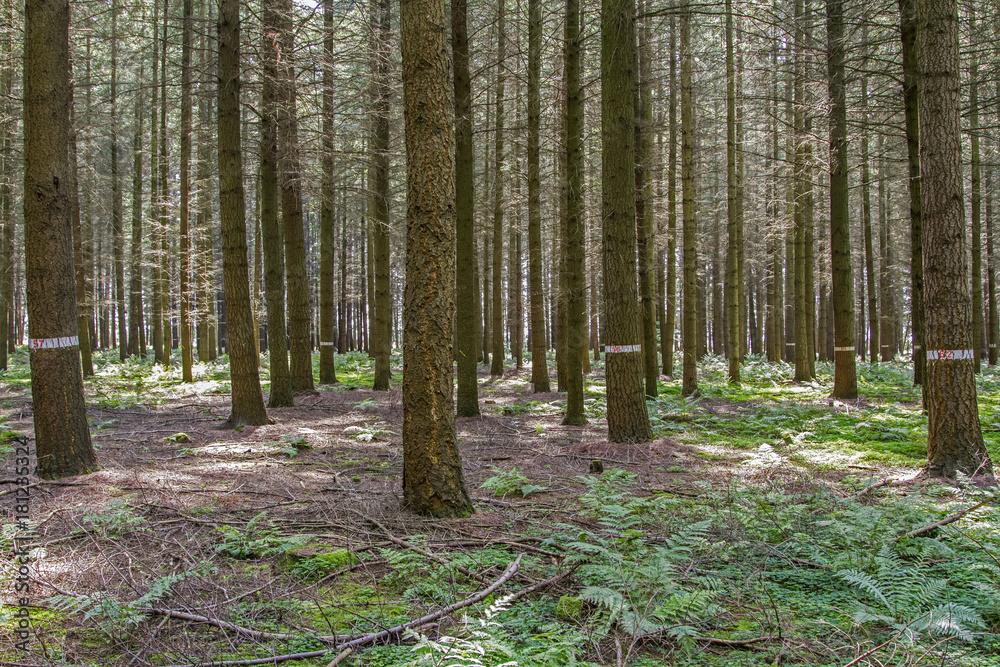 Papiers peints Douglas fir. Forest plantation Douglas fir - NikkelArt.be