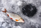 winter fishing, roach on the ice - 181244507