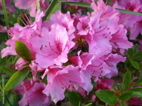 Plexiglas Azalea Fleurs Rhododendron